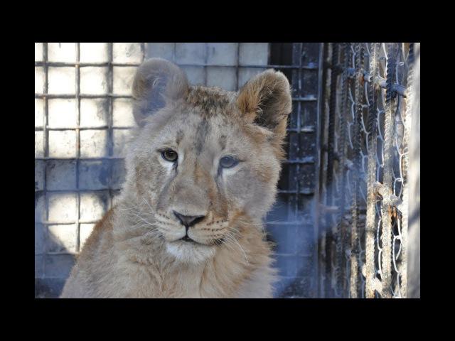 Юная львица Сандра осваивается в Одесском зоопарке