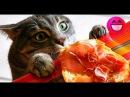 Коты и Кошки Лучшие приколы с котами Самые смешные коты и кошки Коты видео Кот см...