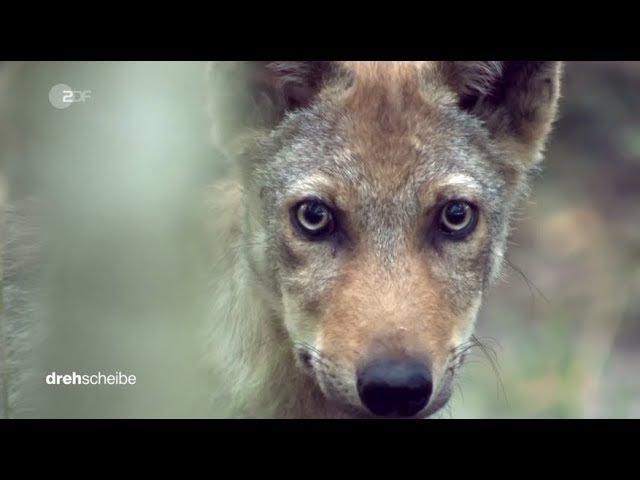 Wölfe reißen Reh im Dorf (Brandenburg)