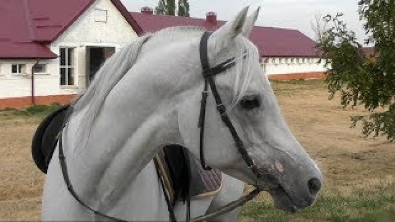 Где живет конь Путина чистокровный арабский жеребец Сирдар /Терский племенной конный завод /Конь ВВП