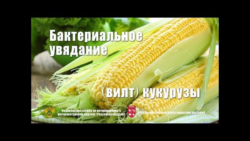 Бактериальное увядание (вилт) кукурузы