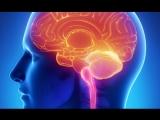 Тело человека. Головной мозг (Cerebrum).