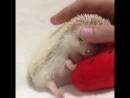 Ёжик спит