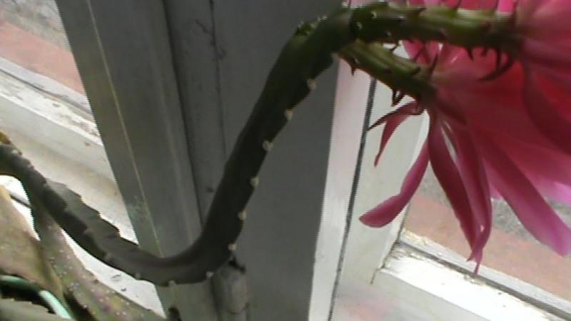 Розовые цветы у кактуса, кактус цветёт в апреле на подоконнике — Вороваевец Giovana Corrêa