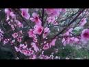 Цветение персика в Геленджике