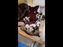 Кошка кормит щенков =