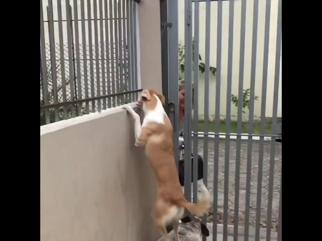 Bonnie e Amora malabarismo para ver a amiga Lola que está do outro lado do muro Funny dogs