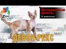 Девон-рекс - Интересные факты о породе | Кошка породы девон-рекс