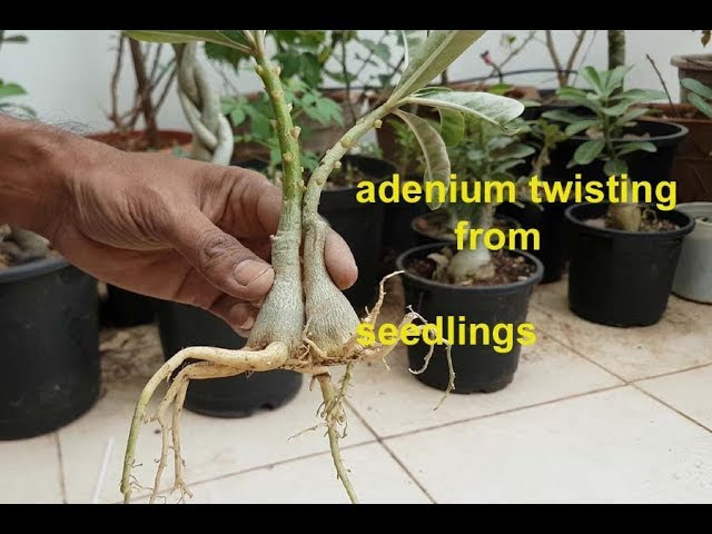 How to twist two spread root adenium seedlings give amazing look ?