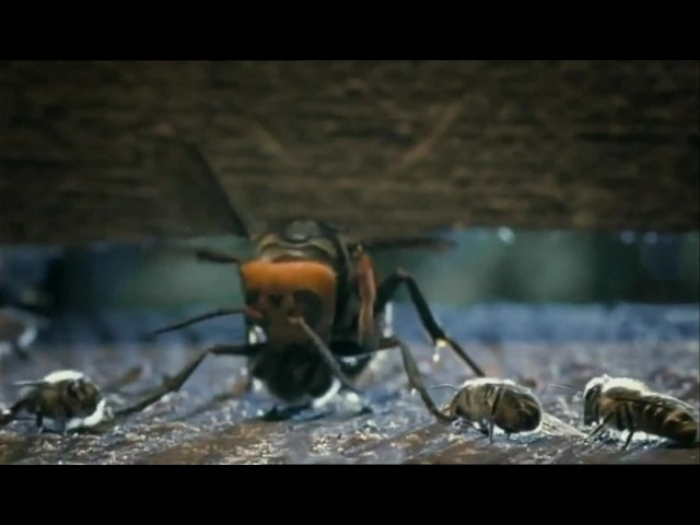 The battle of bees with a hornet
