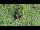 Галка против крысы Kavka vs potkan