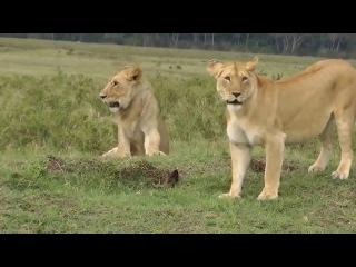 Львы против мангуста