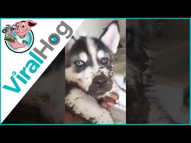 Muddy Husky Mischief || ViralHog