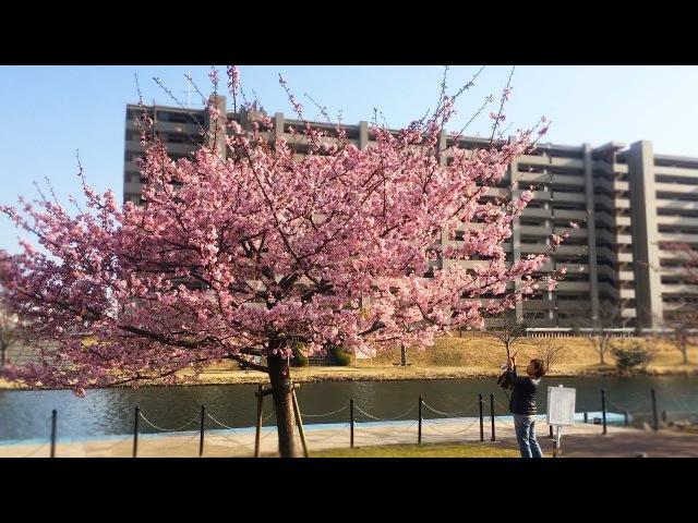 Минус цветения сакуры в Японии Когда цветет сакура в Японии Сакура в феврале