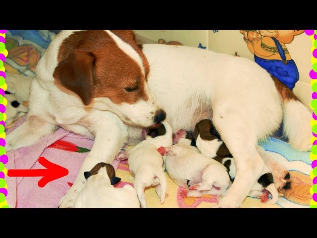 Щенки Рождение 8 щенков Джек Рассел Приколы про щенят