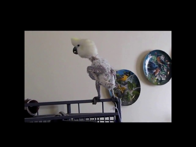 Cockatoo sings, Cant buy me love...by the Beatles