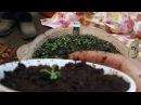 Часть 1. Ремонтантная малина Осенняя красавица. Пекируем рассаду малины из семян.