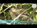 Bran colored flycatcher Ржавчатая курэта Myiophobus fasciatus