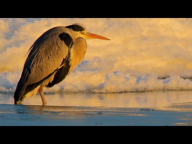 Grey Heron / Серая цапля / Ardea cinerea