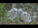 SLAGUGGLA Ural Owl (Strix uralensis) Klipp - 347