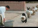 Cachorros Treinados Cães Disciplinados Compilação 2018