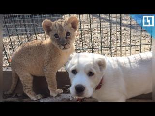 Сладкая парочка. Дружба львенка и щенка