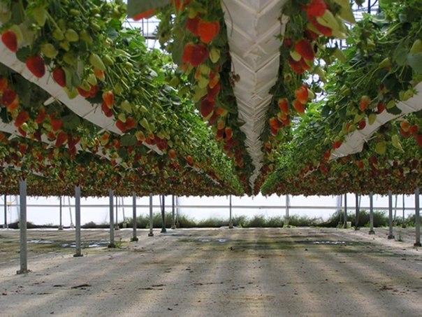 Израильские технологии выращивания клубники 11