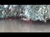 Стая голодного белого амура кушает листву с деревьев