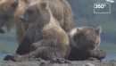 Камчатская медведица