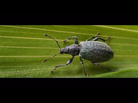 Чем опасны жуки долгоносики, как живет долгоносик