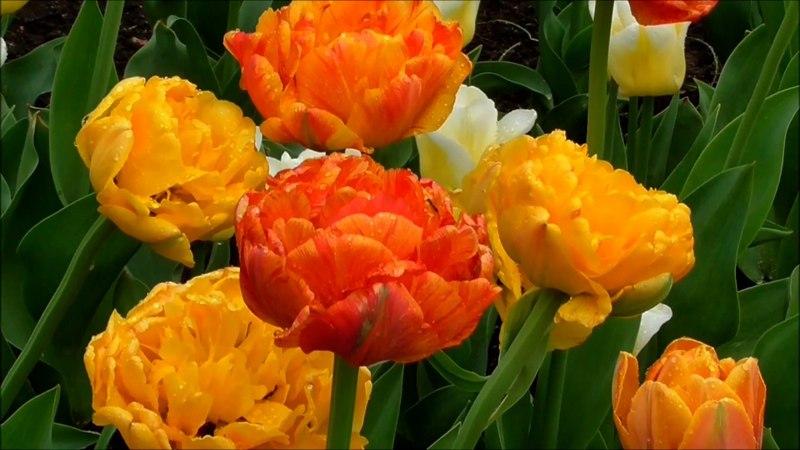 Вальс тюльпанов. Тюльпаны в Собственном садике Екатерининского парка.