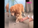 Материнский инстинкт у собаки