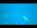 Дельфины в Красном море