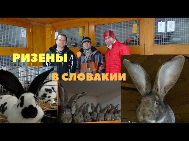 Чемпион и мастер Европы по кроликам Марк Йозеф Словакия ризены