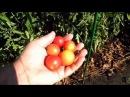 Помидоры сорт БАЛКОННОЕ ЧУДО, описание, опыт выращивания.