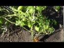 Опыт выращивания помидоров по пять штук в лунке