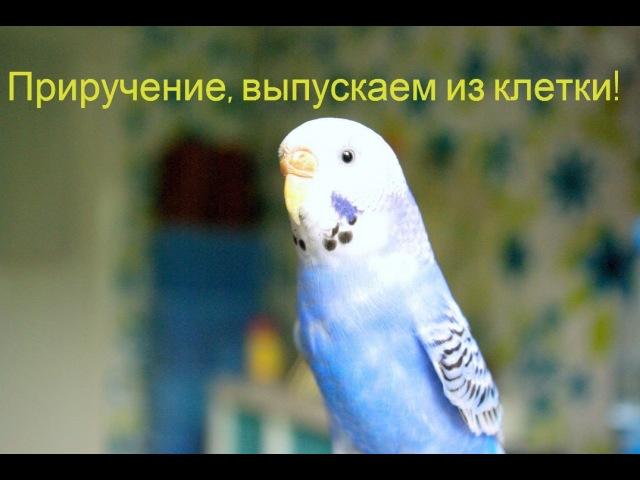 Попугай Приручение выпускаем из клетки