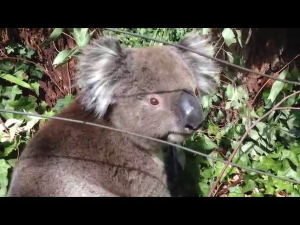 Wiggle Bum Koala
