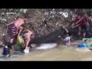 Тайцы спасли гигантского 200-килограммового сома а потом пошли жрать кузнечиков