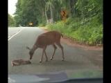 Оленёнок от страха перед машиной не мог даже двигаться, но мама пришла но помощь!