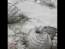 Грязевые ванны панголинов