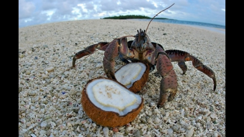 Японская уличная еда - гигантский кокосовый краб