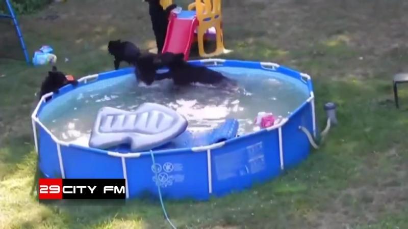 Медведица с медвежатами в бассейне