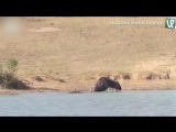 Бегемот спасает антилопу от алигатора