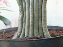 How to plant adenium twigs combined ( tanam dahan/ranting adenium dengan cara digabungkan)