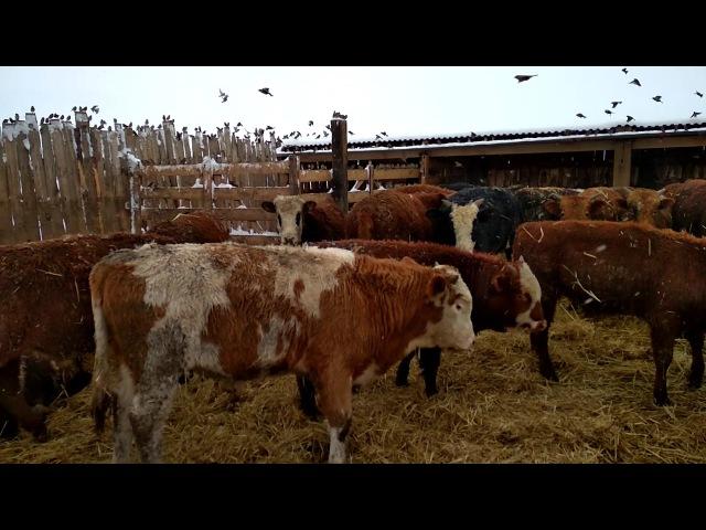 Откорм бычков.