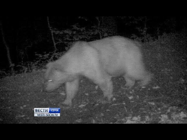 Пока сочинские медведи спят, по их владениям гуляют пришлые