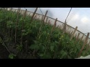 Пасынкование томатов в теплице. Caring for tomatoes in the greenhouse