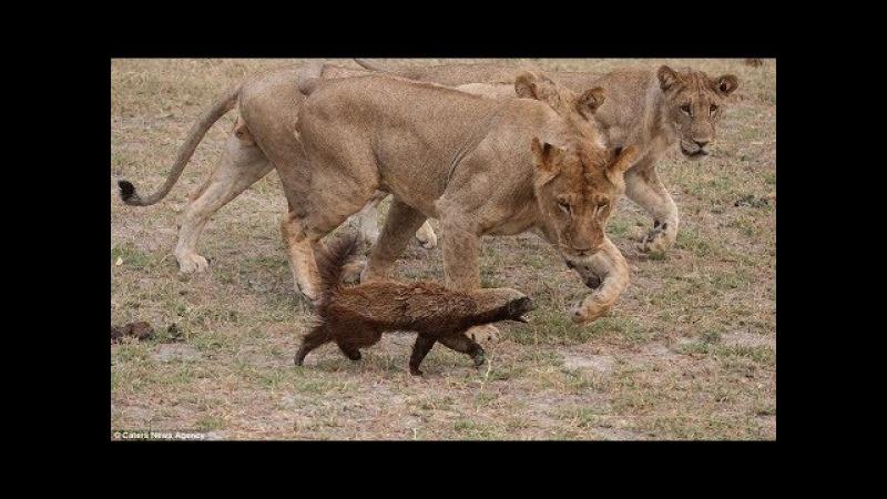 Lửng mật Dũng Mãnh đại chiến Sư tử Linh cẩu Cáo Rắn Hổ Mang có kết cục