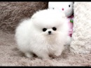 Cute Pomeranian Puppies Compilation Ever | The Cutest Dogs in The World